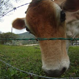 cow-248846_1920