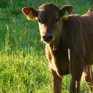 cow-56021_1920