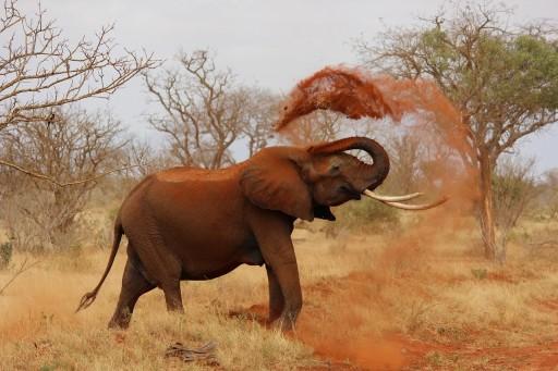 Elephants throw sand on their body to prevent sunburn.