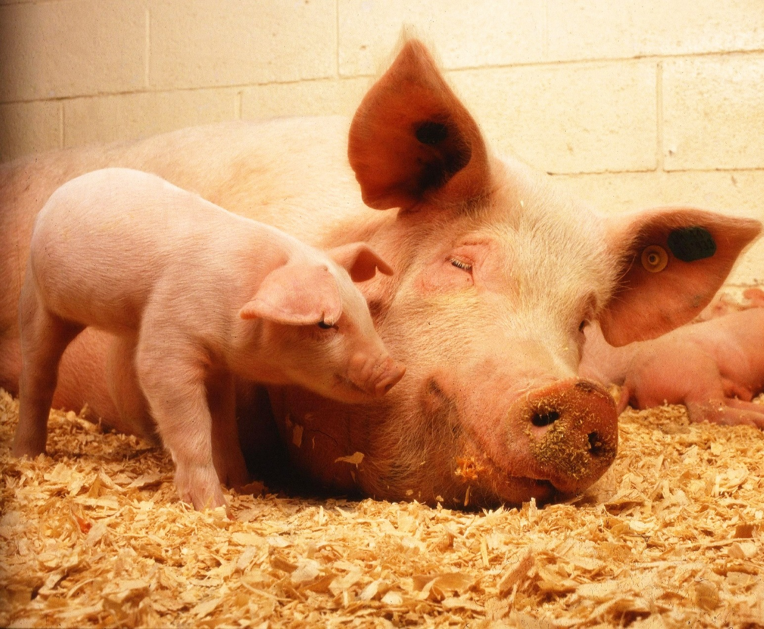 Pigs can empathize