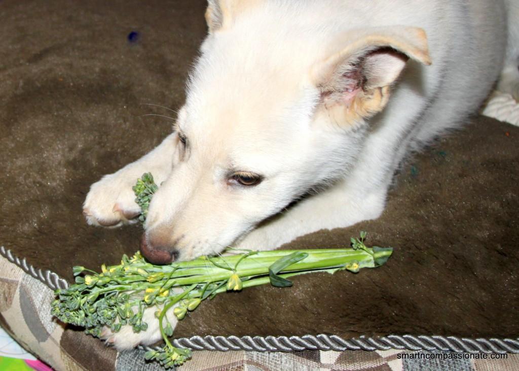 He loves to chomp on raw veggies :-)